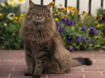Le chat maine coon, un géant américain