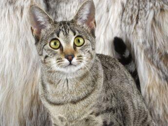 Le mau égyptien : le chat  favori des pharaons