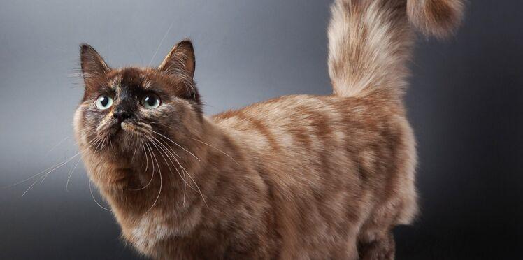 Le munchkin, le chat-basset