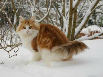 Le norvégien : un chat robuste