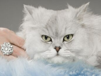 Le persan : un chat pacha