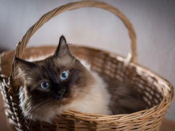 Le sacré de Birmanie, le chat ganté
