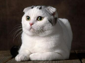 Le scottish fold : le chat casquette