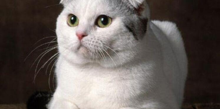 Le scottish fold : le chat casquette