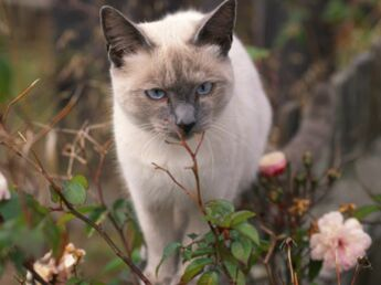 Le siamois, un chat extraverti