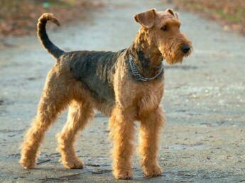 L'airedale : le roi des terriers