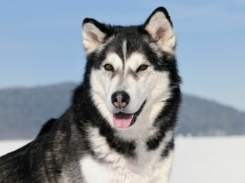 L'alaskan malamute : la locomotive des neiges