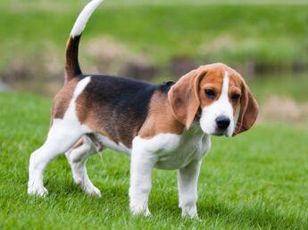 Le beagle : un chien doux et polyvalent