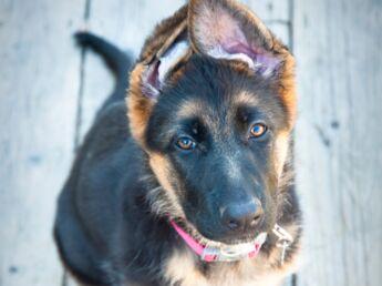 Le berger allemand : un chien surdoué