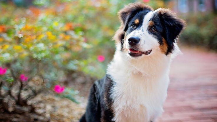 Le berger Australien, un chien star