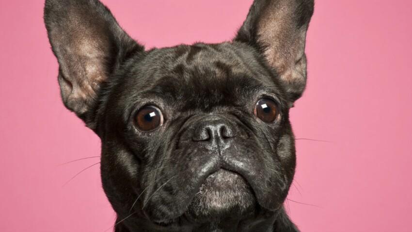 Le bouledogue français, un chien très affectueux