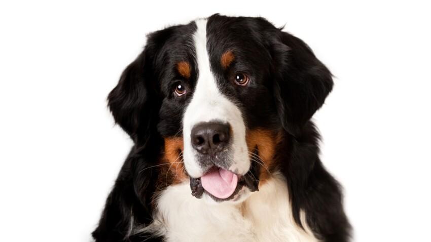 Le bouvier bernois un chien de garde pacifique