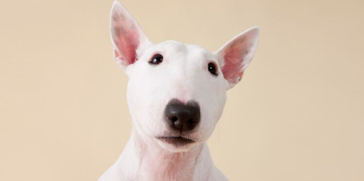 Le bull-terrier, un chien impulsif