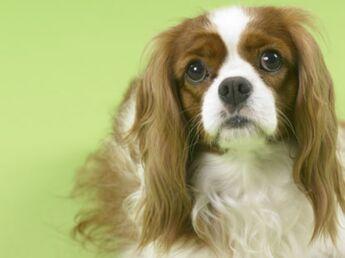 Le cavalier King Charles : le chien chouchou