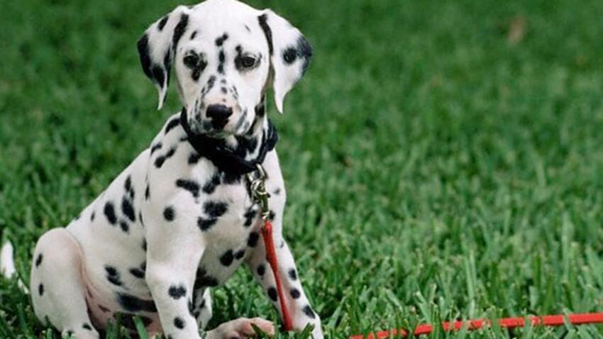 Le dalmatien : un flegme britannique