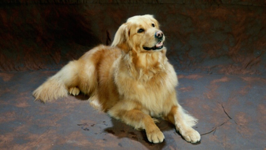 Le golden retriever, un chien gentleman farmer