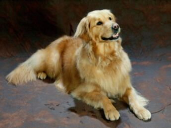 Le golden retriever, un chien gentleman farmer