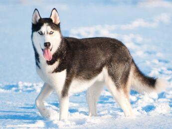 Le husky, un chien sportif
