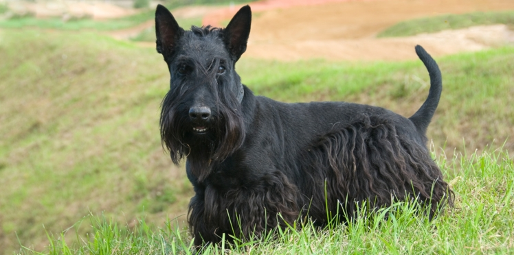 Le scottish terrier,