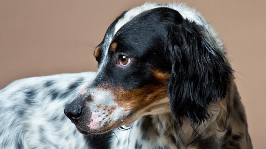 Le setter anglais, un chien de race beau et bon à la fois