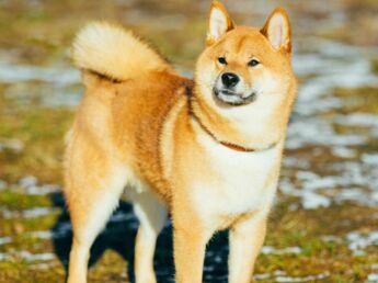Le Shiba inu, un chien venu du Japan