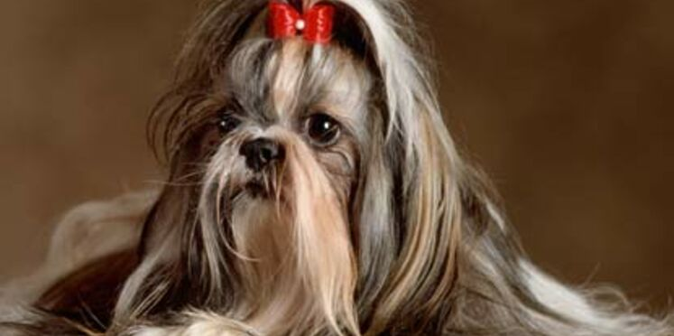 Le shih tzu, un chien pas si zen !