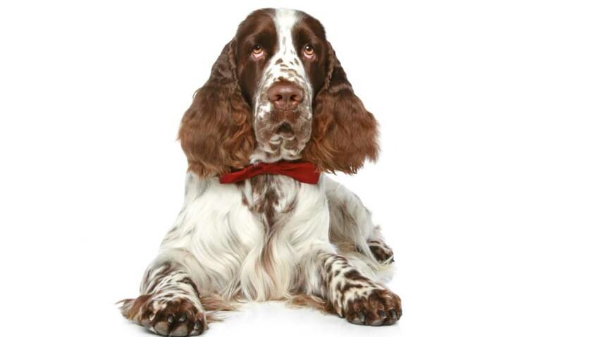 Le springer anglais : tout sauf chien de salon !
