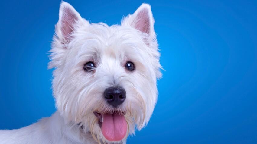Le west highland white terrier : une bouille à bisous