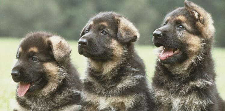 Classement officiel des chiens de race préférés des français