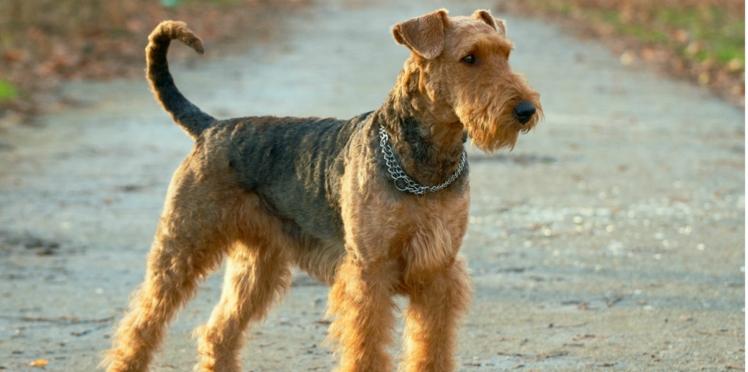 L'airedale terrier, un chien sportif