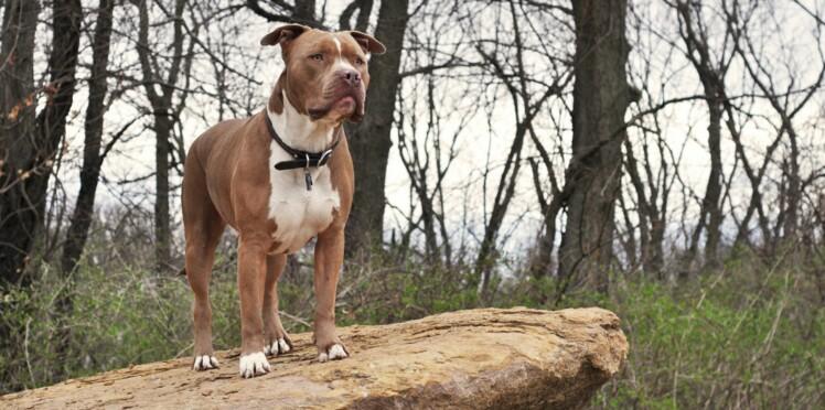 L'american bully, un chien à dorloter
