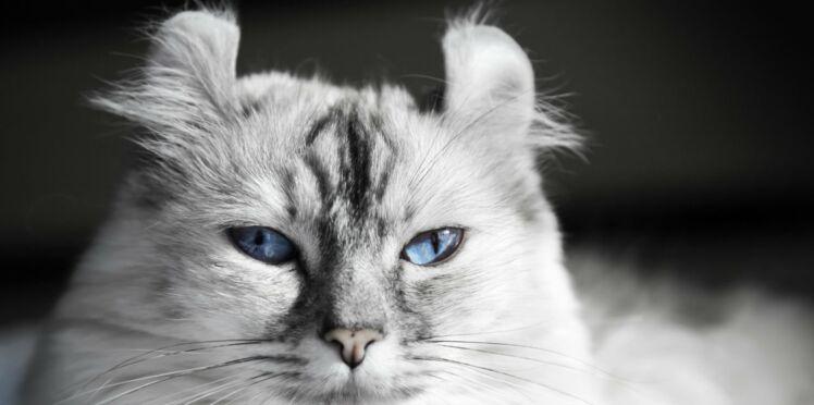 L'american curl, le chat aux drôles d'oreilles