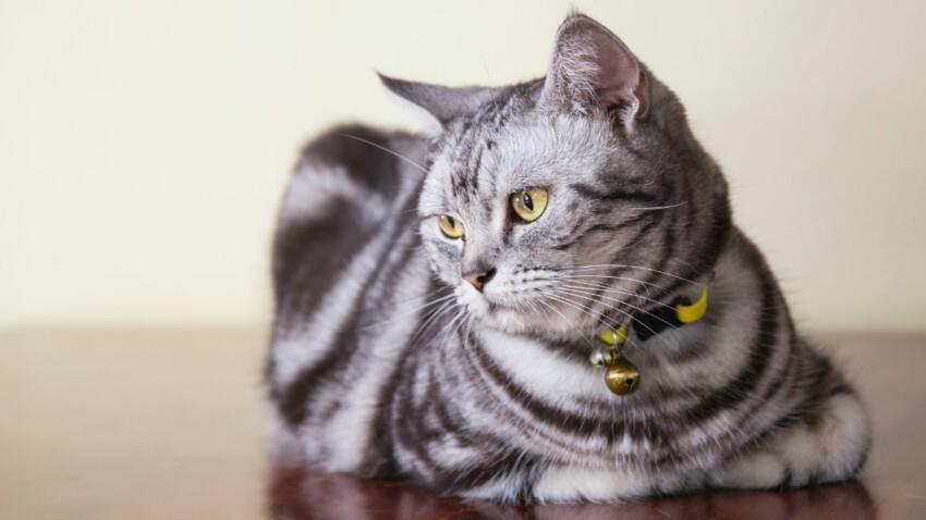L'american shorthair, un chat rustique