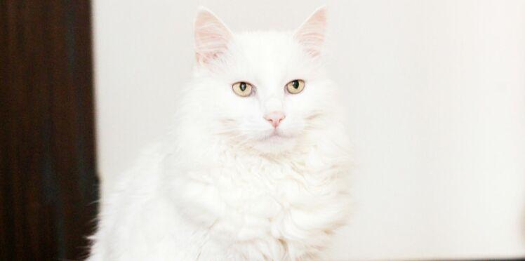 L'angora turc, un chat gracieux aux pattes de velours