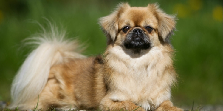 L'épagneul tibétain, un chien au taquet