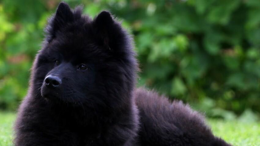 L'eurasier, un vrai chien de compagnie