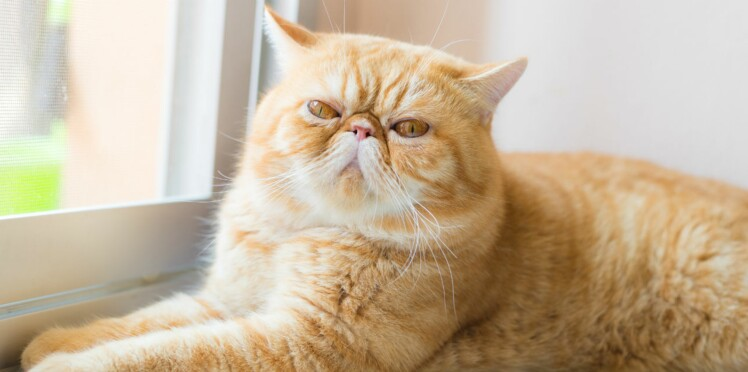 L'exotic shorthair, un chat au tempérament calme