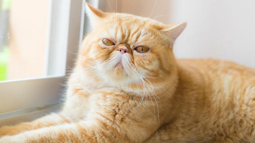 L'exotic shorthair, un chat au tempérament calme