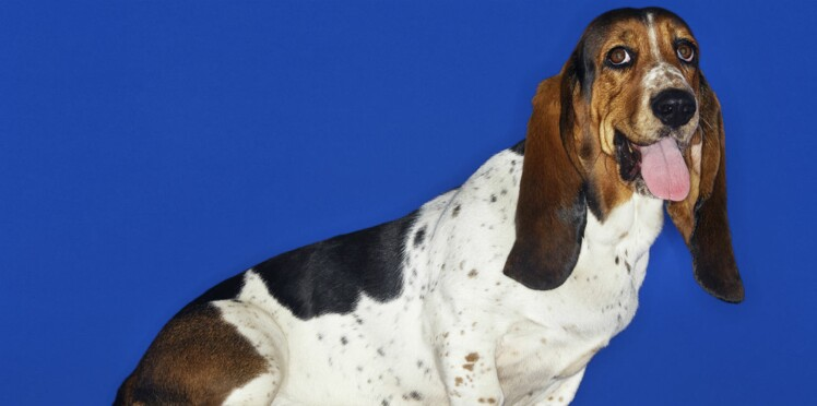 Le basset hound, un chien débonnaire