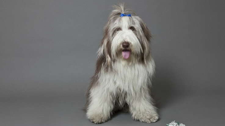 Le bearded collie : un chien peluche