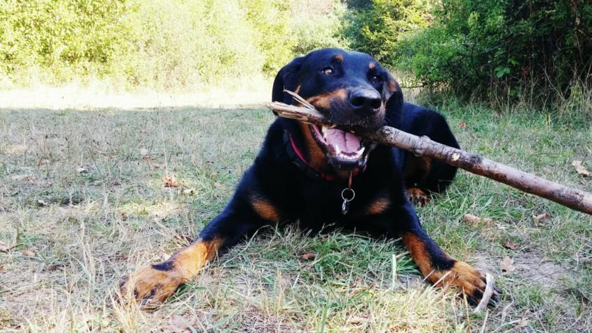 Le beauceron, un chien qui impressionne