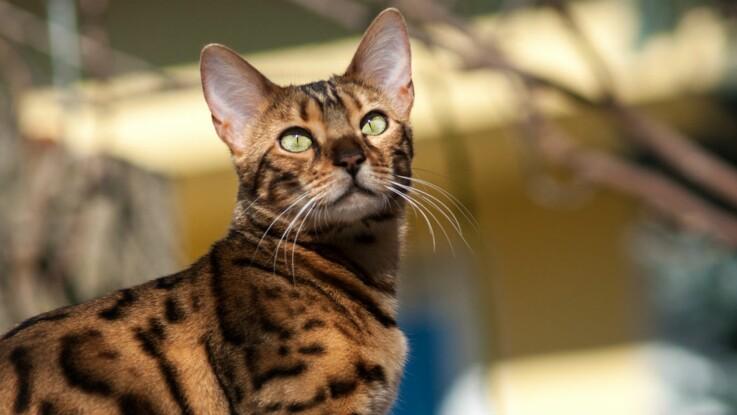 Le bengal, un chat léopard
