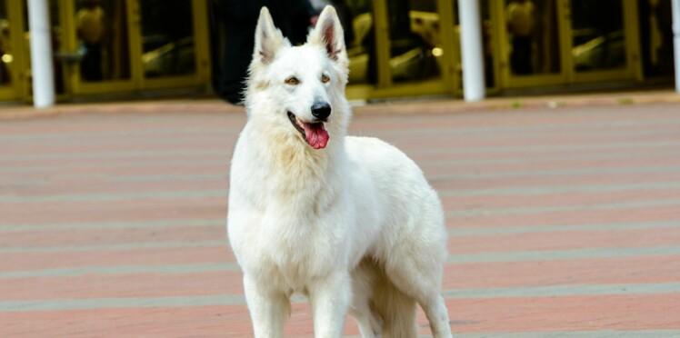 Le berger blanc suisse, un chien d'une grande sensibilité