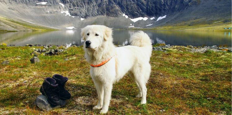 Le berger d'Anatolie, un chien qualitatif
