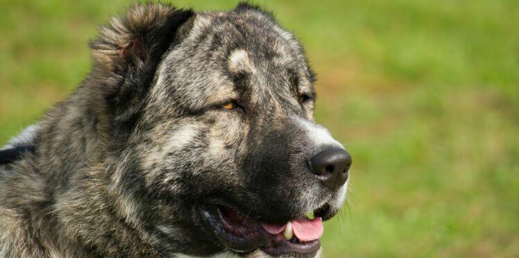 Le berger du caucase, un chien au fort caractère