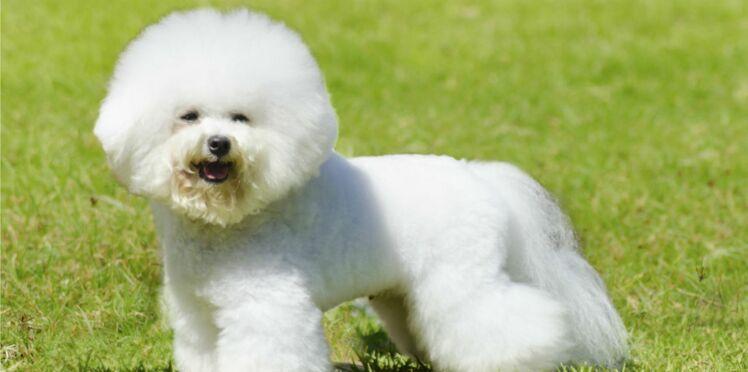 Le bichon frisé, un chien pétillant