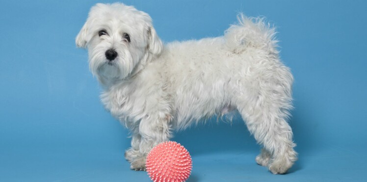 Le bichon maltais, un chien charmant