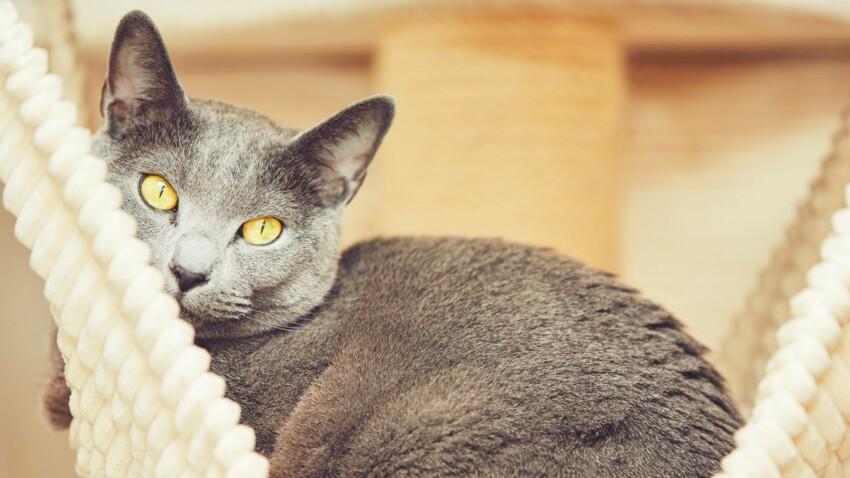 Le bleu russe, un chat attentif