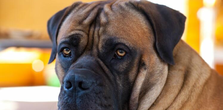 Le boerbull, un chien défenseur
