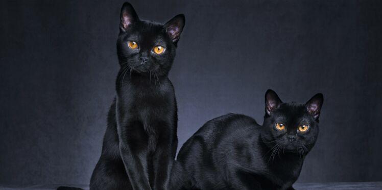 Le bombay, un chat fascinant